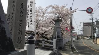 210402 水間寺さくら2.jpg